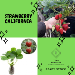 Bibit strawberry california / pohon strawberry california